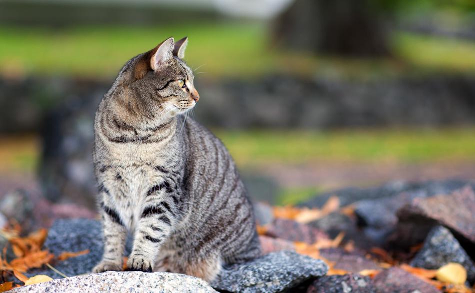 Alsike Cat